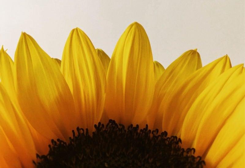 half of a beautiful yellow sunflower