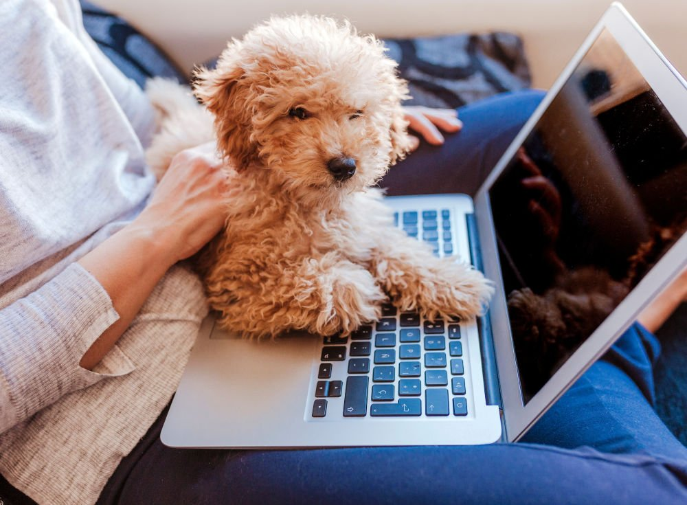 cute labradoodle puppy sitting on laptop in woman's lap
